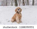 portrait of beauitful cocker... | Shutterstock . vector #1188350551
