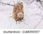 cocker spaniel walk in winter... | Shutterstock . vector #1188350557