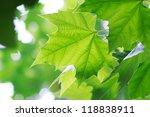 Leaves In Summer