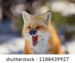 A Beautiful Red Fox With Its...