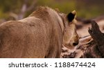 close up of female lion's back... | Shutterstock . vector #1188474424
