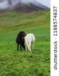 two icelandic breed white and... | Shutterstock . vector #1188574837