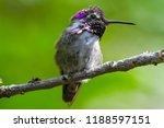 male costa's hummingbird... | Shutterstock . vector #1188597151