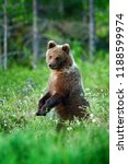 bear pup without mother. babe...   Shutterstock . vector #1188599974