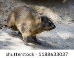 rock hyrax sitting on a rock | Shutterstock . vector #1188633037