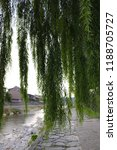 giant weeping willow tree by a...   Shutterstock . vector #1188705727