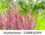heather flowers. bright natural ...   Shutterstock . vector #1188816394
