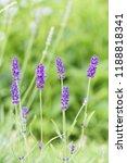 lavender flower head close up....   Shutterstock . vector #1188818341