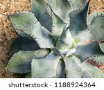 agave succulent plant agave... | Shutterstock . vector #1188924364