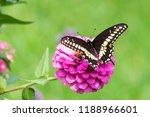 Pretty Black Swallowtail...