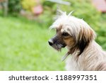 sweet little shaggy dog on a... | Shutterstock . vector #1188997351