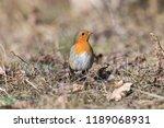 european robin  erithacus... | Shutterstock . vector #1189068931
