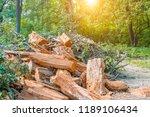 heap of old felled tree stumps... | Shutterstock . vector #1189106434