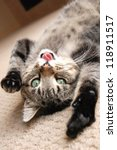 Stock photo a cute tabby kitten on the floor playing with his tongue stuck out 118911517
