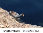 common gallinule or common... | Shutterstock . vector #1189238461