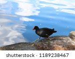 common gallinule or common... | Shutterstock . vector #1189238467