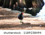 common gallinule or common... | Shutterstock . vector #1189238494