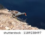 common gallinule or common... | Shutterstock . vector #1189238497
