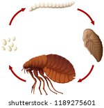 life cycle of a flea... | Shutterstock .eps vector #1189275601