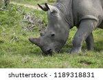 a white rhinoceros ... | Shutterstock . vector #1189318831