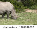 a white rhinoceros ... | Shutterstock . vector #1189318837
