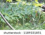 momordica charantia often... | Shutterstock . vector #1189331851