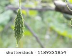 momordica charantia often... | Shutterstock . vector #1189331854