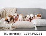 Stock photo six beautiful puppies of the english bulldog lies on a sofa with pillows horizontal portrait 1189342291