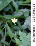 beautiful yellow flower of... | Shutterstock . vector #1189346191