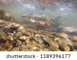 nase carp  chondrostoma nasus ... | Shutterstock . vector #1189396177