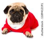 very cute sorrow pug dog in a... | Shutterstock . vector #1189412191