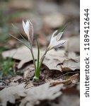 crocus heuffelianus white... | Shutterstock . vector #1189412644