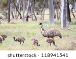Flightless Australian Bird  Th...