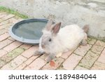 rabbit female in thailand. | Shutterstock . vector #1189484044