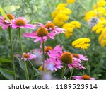 red coneflowers echinacea  with ... | Shutterstock . vector #1189523914