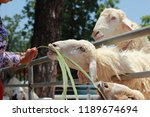 people have mercy to sheep... | Shutterstock . vector #1189674694