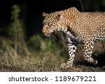 closeup of leopard koboso at... | Shutterstock . vector #1189679221