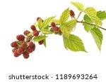 Branch Ripening Blackberries...