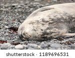 weddel sea resting on a stony... | Shutterstock . vector #1189696531