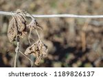 dried cucumber leaves hanging...   Shutterstock . vector #1189826137