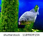 ordinary piranhas are a species ... | Shutterstock . vector #1189839154