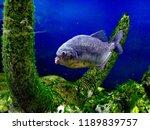 ordinary piranhas are a species ... | Shutterstock . vector #1189839757