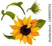 Sunflower vector clip art set. Yellow flower illustration. Plant image with transparent background