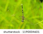 A Dragonfly Die On Web