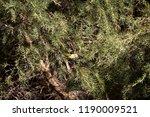 tiny  little  juvenile... | Shutterstock . vector #1190009521