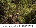 tiny  little  juvenile... | Shutterstock . vector #1190009524