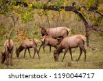 cow elk nuzzling nursing calf.... | Shutterstock . vector #1190044717