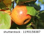 ripe apple hanging on a tree | Shutterstock . vector #1190158387