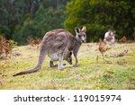 Kangaroo Looking At The Camera...