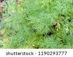 young fennel in the garden in... | Shutterstock . vector #1190293777